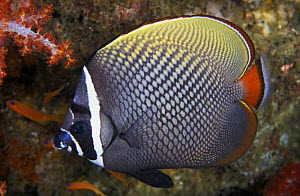White-collared Butterflyfish (Chaetodon collare) Thailand, Indian Ocean.  NOT FOR SALE IN THE USA  -  Brandon Cole