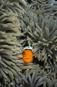 Clown Anemonefish (Amphiprion percula) amongst sea anemone tentacles, Papua New Guinea, tropical Pacific Ocean.  NOT FOR SALE IN THE USA  -  Brandon Cole