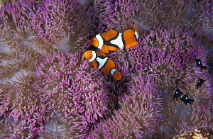 Clown anemonefish (Amphiprion percula). and Domino damselfish living in anemone, a symbiotic relationship. Papua New Guinea, tropical Indo-Pacific Ocean.  NOT FOR SALE IN THE USA  -  Brandon Cole