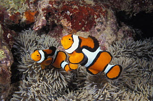 Clown Anemonefish (Amphiprion percula) amongst tentacles of sea anemone. Papua New Guinea, tropical Pacific Ocean.  NOT FOR SALE IN THE USA  -  Brandon Cole