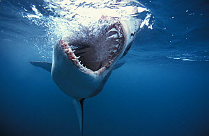 Great white shark (Carcharodon carcharias) jaws open, South Africa.~ NOT FOR SALE IN THE USA  -  Brandon Cole
