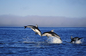 Pacific white-sided dolphins (Lagenorhynchus obliquidens) leaping. Pacific Northwest.   NOT FOR SALE IN THE USA  -  Brandon Cole