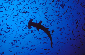 Scalloped hammerhead shark (Sphyrna lewini) with mass of other fish above it. Cocos Island, Costa Rica, Pacific Ocean.  NOT FOR SALE IN THE USA  -  Brandon Cole