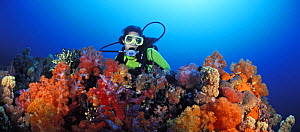 Scuba diver (model released) admires the rainbowed colours of soft corals. Indonesia, Indo-Pacific Ocean.~ NOT FOR SALE IN THE USA  -  Brandon Cole