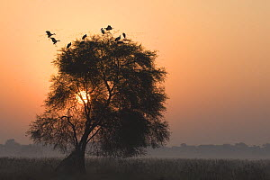 Asian openbill storks (Anastomus oscitans), roosting in tree at sunrise in Keoladeo Ghana / Bharatpur NP, Rajasthan, India  -  Bernard Castelein