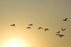 Painted stork (Mycteria leucocephala), flock flying at sunrise, Keoladeo Ghana / Bharatpur NP, Rajasthan, India  -  Bernard Castelein
