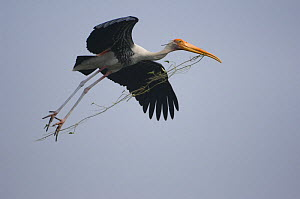 Painted Stork (Mycteria leucocephala) flying, carrying nesting material in beak, Keoladeo Ghana / Bharatpur NP, Rajasthan, India  -  Bernard Castelein