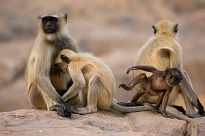 Southern plains grey / Hanuman langur {Semnopithecus dussumieri} family group on rock, Rajasthan, India - Bernard Castelein