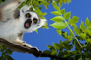 Ring-tailed lemur (Lemur catta) looking down from tree, Anja Private Reserve, near Ambalavao, Central Madagascar - Inaki Relanzon