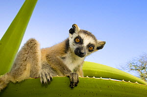 Ring-tailed lemur (Lemur catta) looking down from large spiney plant, Itampolo, South Madagascar  -  Inaki Relanzon