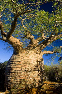 The oldest baobab tree in Madagascar (Adansonia rubrostipa) Tsimanampetsotse National Park, South Madagascar  -  Inaki Relanzon