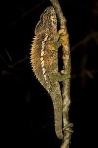 Jewel chameleon (Furcifer / Chamaeleo lateralis) climbing branch at night, Berenty Private Reserve, South Madagascar - Inaki Relanzon
