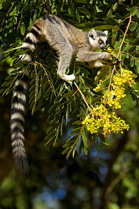 Ring-tailed lemur (Lemur catta) feeding on fruit in tree, Berenty private reserve, south Madagascar  -  Inaki Relanzon