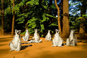 Ring-tailed lemur (Lemur catta) group sitting on ground, sunning in morning sun, Berenty private reserve, south Madagascar  -  Inaki Relanzon
