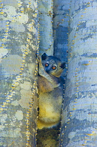 White-footed sportive lemur (Lepilemur leucopus) amongst tree trunks, Berenty private reserve, south Madagascar - Inaki Relanzon