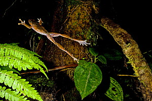 Leaf litter frog jumping (Boophis madagascariensis) Marojejy National Park, Madagascar.  -  Inaki Relanzon