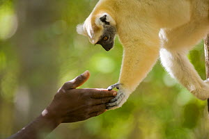 Golden crowned sifaka lemur (Propithecus tattersalli) reaching out to touch hands with man in tropical dry forest, Daraina, North Madagascar. - Inaki Relanzon
