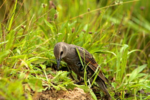 Common starling {Sturnus vulgaris} anting, pecking at ant's nest to rub ants into plumage to clear parasites from feathers, juvenile, captive bird, Somerset, UK  -  John Waters
