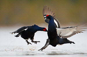Black Grouse (Tetrao tetrix) two males fighting, Liminka, Finland, March. Magic Moments book plate. - Markus Varesvuo