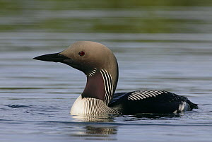 Black-throated diver (Gavia arctica) portrait, Finland, June  -  Markus Varesvuo