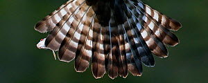Close up of tail feathers of Osprey (Pandion haliaetus) in flight, Vaala, Finland, June. Magic Moments book plate.  -  Markus Varesvuo