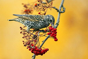 Comon starling (Sturnus vulgaris) feeding on Rowan berries, Finland, October - Markus Varesvuo