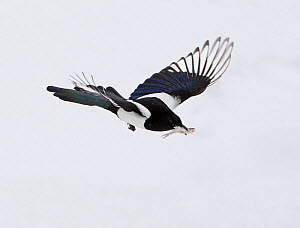 European Magpie (Pica pica) in flight carrying fish prey in beak, Kuusamo, Finland, April  -  Markus Varesvuo