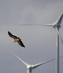 Griffon vulture (Gyps fulvus) in flight near wind turbines, Spain, September  -  Markus Varesvuo