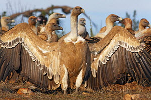 Griffon vulture (Gyps fulvus) flock on ground, front vulture with wings spread, Spain, December  -  Markus Varesvuo