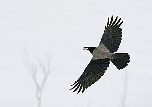 Hooded crow (Corvus cornix) flying with fish in beak, Finland, February  -  Markus Varesvuo