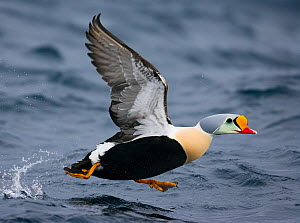 King Eider (Somateria spectabilis) male taking off from water, Norway, April. Magic Moments book plate.  -  Markus Varesvuo