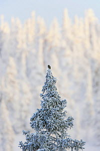Eurasian pygmy owl (Glaucidium passerinum) perched at top of coniferous tree in snow, Kuusamo, Finland, January  -  Markus Varesvuo