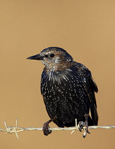 Spotless starling (Sturnus unicolor) juvenile perched on wire, Spain, September  -  Markus Varesvuo