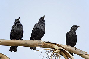 Spotless starling (Sturnus unicolor)bthree perched on branch, Spain, September  -  Markus Varesvuo