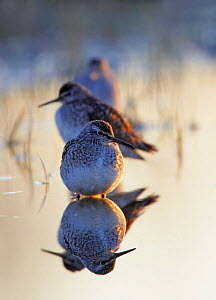 Wood sandpiper (Tringa glareola) roosting, reflected in water, Liminka, Finland, May  -  Markus Varesvuo