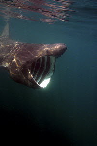 Basking shark {Cetorhinus maximus} feeding with mouth wide open, off Cornwall, UK  -  Michael Pitts