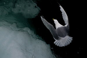 Kittiwake {Rissa tridactyla} flying over arctic ice cap - Michael Pitts