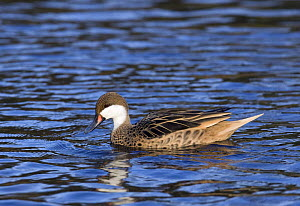 White-cheeked pintail (Anas bahamensis) captive, from Galapagos Islands, West Indies and South America  -  David Kjaer
