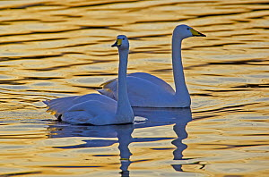 Whooper swan (Cygnus cygnus) pair at sunset on the Ouze Washes, Norfolk, England  -  David Kjaer