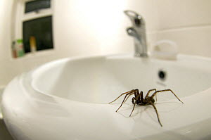 House spider (Tegenaria gigantea) on edge of sink in house, Hertfordshire, England  -  Andy Sands