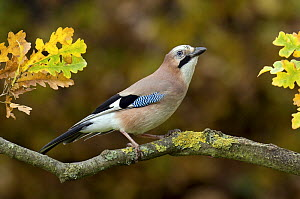 Jay (Garrulus glandarius) perched in Oak tree in autumn, Hertfordshire, England - Andy Sands