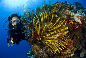 Diver viewing coral reef with Featherstars, Tonga, Melanesia, Pacific  -  Jurgen Freund