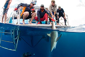 Richard Fitzpatrick releases Grey reef shark {Carcharhinus amblyrhynchos} after inserting transmitter into its belly, as part of the Coral Reef census, Lizard Island, Queensland, Australia, April 2008  -  Jurgen Freund