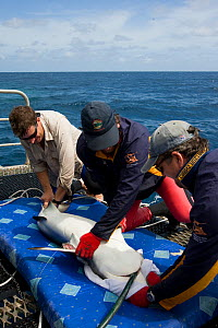 Richard Fitzpatrick sewing up a Grey reef shark {Carcharhinus amblyrhynchos} after inserting transmitter into its belly, as part of the Coral Reef census, Lizard Island, Queensland, Australia, April 2... - Jurgen Freund