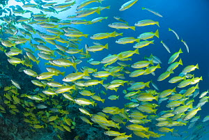 A school of Bigeye Snapper {Lutjanus lutjanus}  Indo-pacific - Jurgen Freund