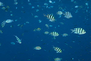 Large schooling group of Sergeant Major fish /  p�ntano {Abudefduf saxatilis} Indo-pacific  -  Jurgen Freund