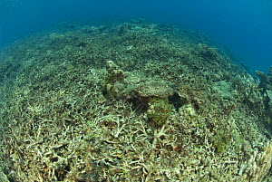 Coral reef destroyed by either dynamite fishing or cyanide fishing, Camarines Sur, Luzon, Philippines 2008 - Jurgen Freund