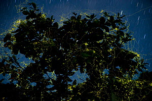 Night shot of Laciola species fireflies in their thousands flying about within a single wild almond or coastal catappa tree ^Talisay^ (Terminalia catappa) Camarines Sur, Luzon, Philippines 2008. Final... - Jurgen Freund