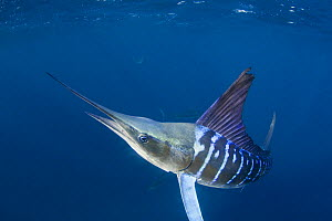 Striped marlin {Tetrapturus audax} off Baja California, Mexico. Haze behind Marlin is blood and scales from Sardines slaughtered by Marlin  -  Doug Perrine