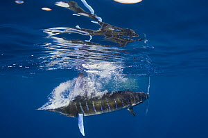 Striped marlin {Tetrapturus audax} brings down a cloud of bubbles after striking a Sardine with its bill at the surface, while feeding on baitball of Sardines / Pilchards {Sardinops sagax} off Baja Ca...  -  Doug Perrine